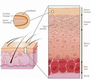 Skin Images  Stratum Cornerum  Granular Layer  Spinous