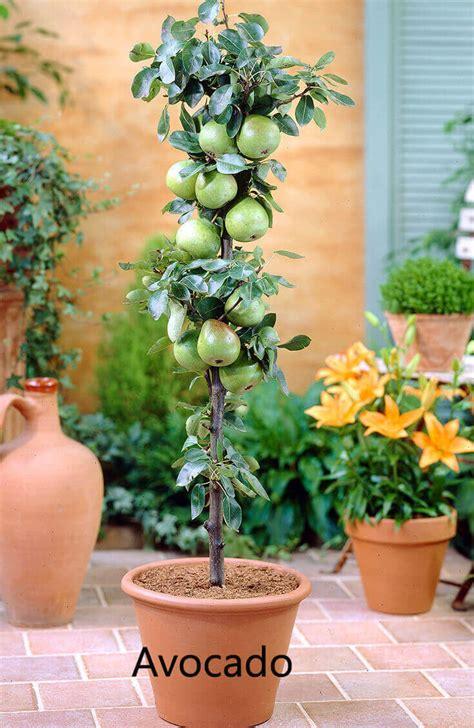 tree apple columnar trees avocado grow pots fruit fruits bolero growing macetas cultivar potted ballerina plants frutales seed single flowers