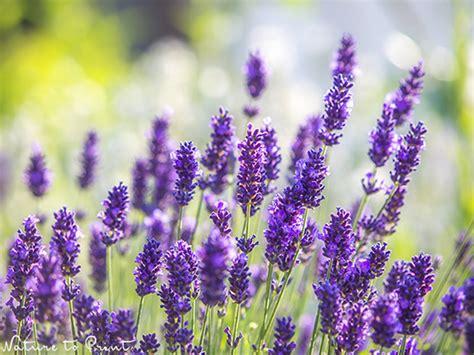 Lavendel. Duftende Blütenwogen Für Den Garten