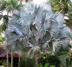 Mudas Orlandi: Palmeira Azul – Bismarckia nobilis