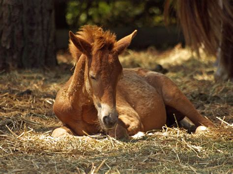 animals horse foal horses sleep farm animal brown pexels vaccinated while ground pony effects early lying standing than want veterinary