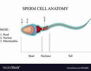 Human Sperm Cell Anatomy Royalty Free Vector Image