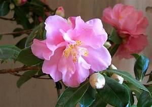 Große Pflanzkübel Winterhart : camellia japonica jutta kamelie hellrosa grosse bl ten ~ Michelbontemps.com Haus und Dekorationen