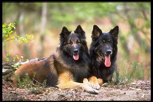 Rules of the Jungle: German shepherd dogs