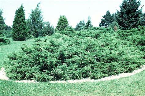 juniper bush i ll have a juniper and tonic thanks suzannerbanks