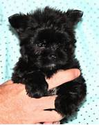 MS Puppy Connection - Puppies For Sale  Black Teacup Maltese Puppies
