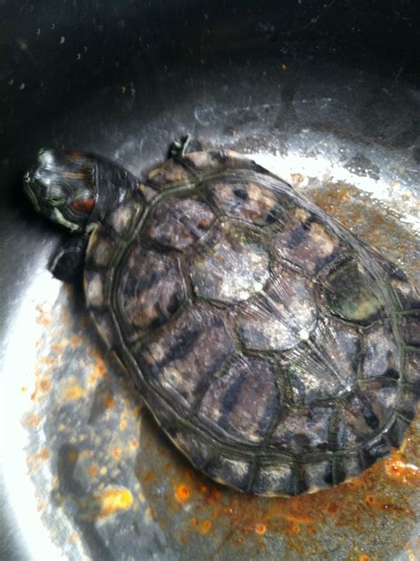 Res Turtle Shell Shedding by 14 Tortaddiction Trim A Tortoise U0027s 100 Russian