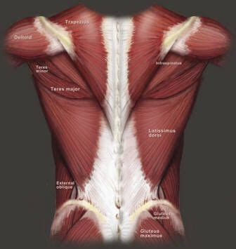 Tutorials on the anatomy and actions of the back muscles, using interactive animations, diagrams, and illustrations. The 25+ best Muscle anatomy ideas on Pinterest | Human muscle anatomy, Arm muscle anatomy and ...