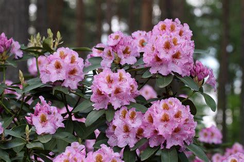 rododendru-audzetava-3 - Ceļveži.lv