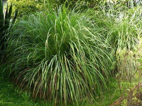 12 Plantes Répulsives Contre Les Moustiques