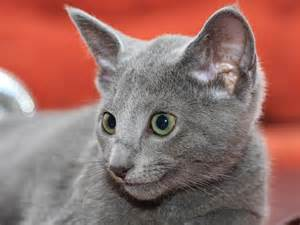 russian blue cat pictures russian blue wallpapers hd