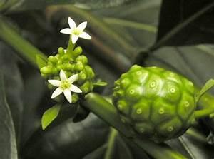 Morinda citrifolia Polynesia Noni juice NUTRIENTS, VITAMINS AND MINERALS Morinda