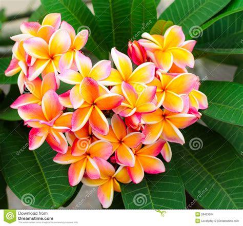 picture plumeria flowers stock images image 29463284