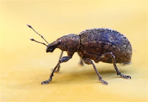 steps   weevils  bugs   food