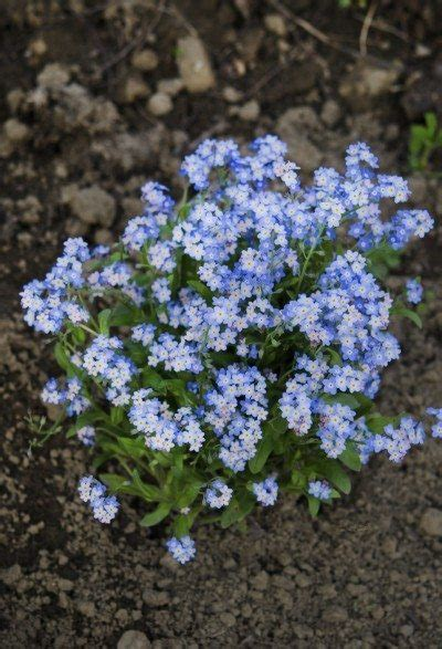 When To Plant Forgetmenots  Tips On Planting Forgetme