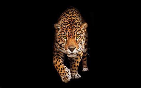 Wild Cat Jaguar HD Wallpapers   HD Wallpapers