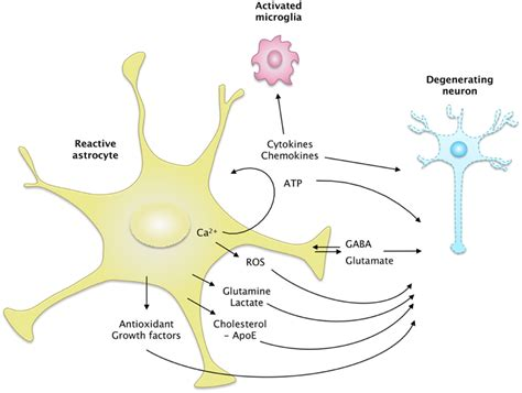 Frontiers | Elusive roles for reactive astrocytes in ...
