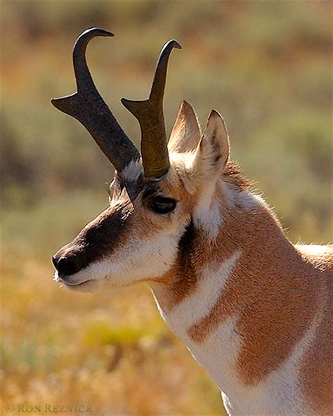 pronghorn sheds pronghorns lower mammoth to floating island lake