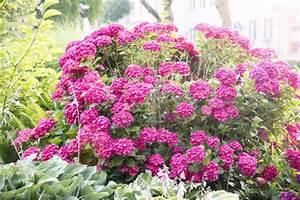 Wie Lange Blühen Hortensien : endless summer hortensien garten blog ~ Frokenaadalensverden.com Haus und Dekorationen