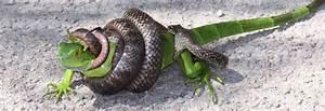 blue racer snake bite › Animals