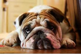 sad-puppy-face jpg  Sad Puppy