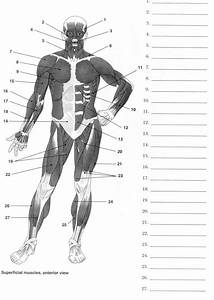 Human Anatomy Labeling Worksheets Muscle Diagram Label