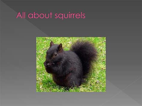 ppt all about squirrels powerpoint presentation id 2521330