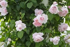 Rosen Winterfest Machen : winterschutz f r rosen gartenzauber ~ Frokenaadalensverden.com Haus und Dekorationen