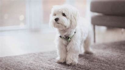 Puppy Dog Maltese Pretty Dogs Gifs Names