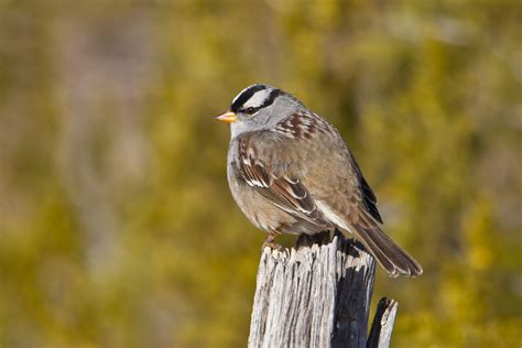 white crowned sparrow zonotrichia leucophrys