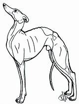 Greyhound Whippet Italian Drawing Dog Lineart Lurcher Template Deviantart Coloring Pages Sketch Drawings sketch template