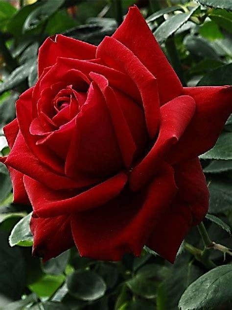 löwen rücken gifs hermosos flores encontradas en la wen