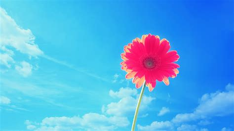 Blume Mit X by Pink Gerbera Flower Wallpapers Hd Wallpapers Id 11015