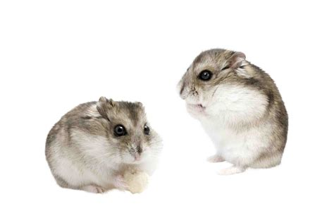 types of hamsters hamster archives maxizoo