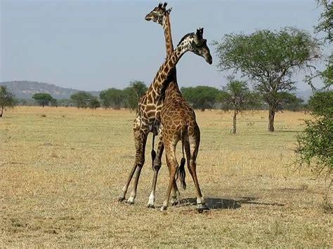 Giraffes Fighting For The Female-West Serengeti Safari ...