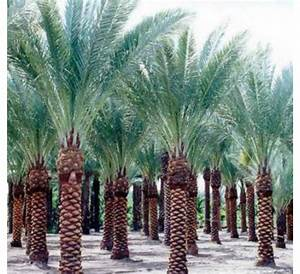 Buy Date Palm Seeds - 1KG online at cheap price - India's