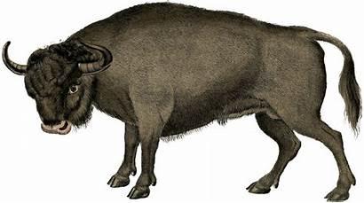 Bull Aurochs Clipart Background Graphic Graphics Illustration