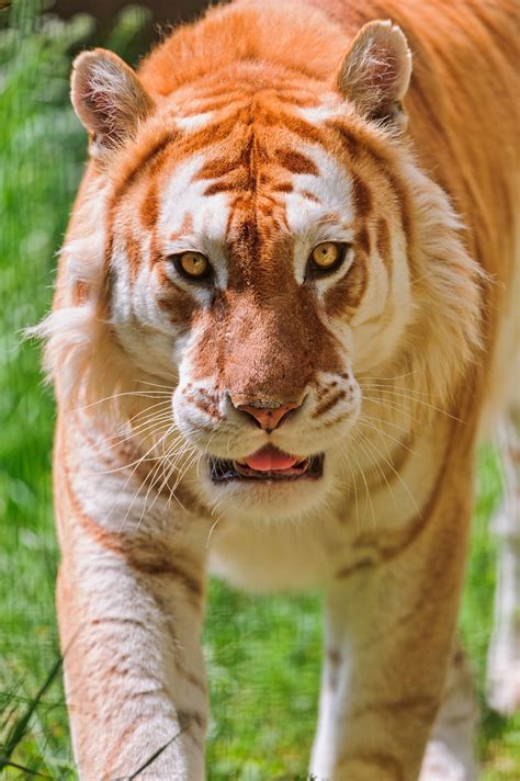 Walking Golden Tiger This The Nice Male