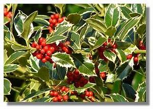 HOW TO GROW HOLLY FROM SEED The Garden of Eaden
