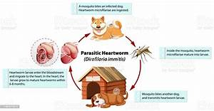 Diagram Showing Parasitic Heartworm In Dog Stock