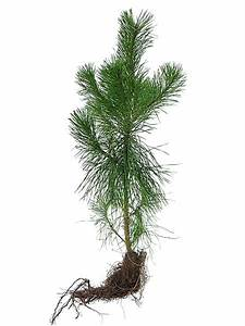 Lodgepole Pine for sale - TreeTime.ca