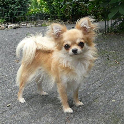 types  chihuahuas dog mixes breeds