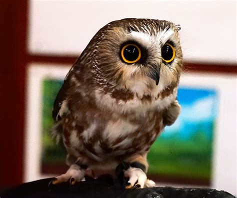live owl show at richmond nature park flickr photo