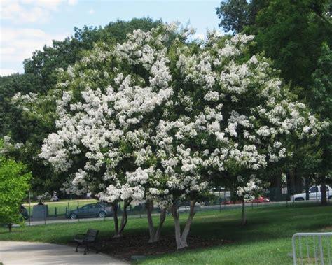 White Crape Myrtle Tree (22' Crisp Snow White