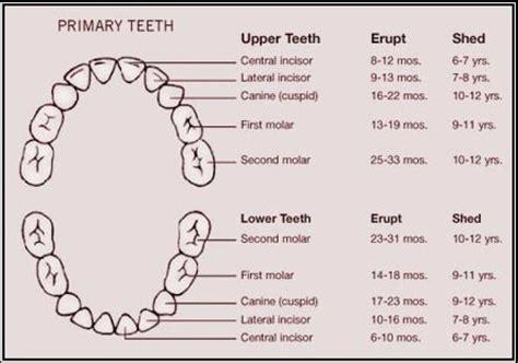 baby teeth   langley pediatric dentist vy primary care pediatric dentistry