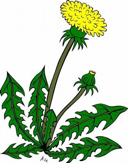 Dandelion Weeds Clipart Flower Clip Cartoon Cliparts