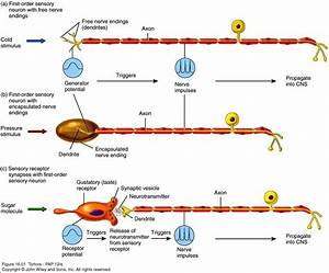 Anatomy & Physiology 120 > Lavender > Flashcards > anatomy ...