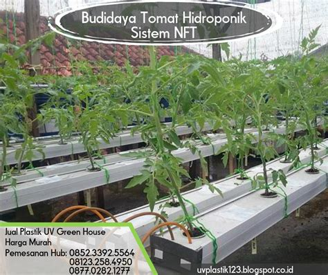 budidaya tomat hidroponik sistem nft pabrik