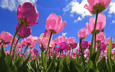 tulips images tulips hd wallpaper pink tulips wallpapers wallpaper cave