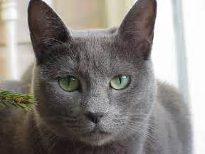 cat russian blue russian blue cat pictures 7 900 215 675 241893 hd wallpaper